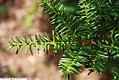 Taxus cuspidata 4zz.jpg