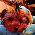 Teenie Tiny Bingo The Teacup Yorkie.jpg