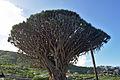 Tenerife - Drago de Icod de los Vinos 05.jpg