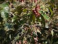 Terminalia paniculata Roth (16146772881).jpg