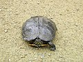 Terrapin at Ebernoe Car Park - geograph.org.uk - 691421.jpg