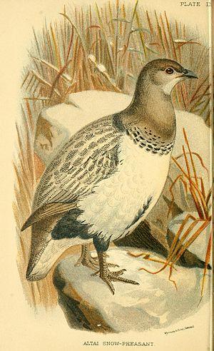 Altai snowcock - Image: Tetraogallus Altaicus