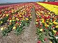 Texel - De Westen - Westerweg - View ENE over Tulipfield.jpg