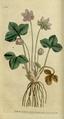 The Botanical Magazine, Plate 10 (Volume 1, 1787).png