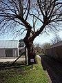 The Dibble Tree - geograph.org.uk - 411978.jpg