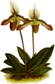 The Orchid Album-01-0110-0036-Cypripedium politum-crop.png