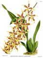The Orchid Album-02-0114-0085-Odontoglossum hebraicum lineoligerum.png