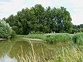 The bird reserve adjacent to Tring Sewage Works - black poplars - geograph.org.uk - 1408802.jpg