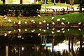 The pond reflects the image of the ibis searching for food.- Les ibis réalisent qu'ils sont subitement le double à chercher de la nourriture... - panoramio.jpg