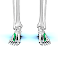 Third metatarsal bone01.png