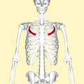 Third rib frontal2.png