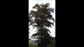 Three Mile Oak Tree-New.png