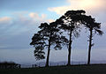 Three trees - geograph.org.uk - 100006.jpg