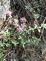 Thymus serpyllum PP Oslava.JPG