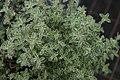 Thymus vulgaris Argenteus 1zz.jpg