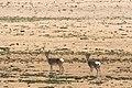 Tibetan gazelle.jpg