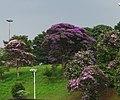 Tibouchinas Trees.jpg