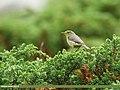 Tickell's Leaf Warbler (Phylloscopus affinis) (35937251510).jpg