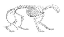 Lo scheletro della tigre si distingue da quello del leone per la lunghezza degli arti e da quello del leopardo per le dimensioni maggiori.