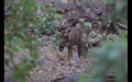 Tiger in Ranthambore 2.png
