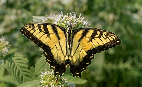 Male tiger swallowtail on mountainmint
