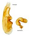 Tinotus morion (Gravenhorst, 1802) Genital (15877474207).png