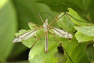Tipula - Tipula luna male