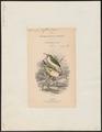 Todus viridis - 1838 - Print - Iconographia Zoologica - Special Collections University of Amsterdam - UBA01 IZ16700307.tif
