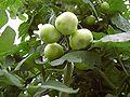Tomate Frucht BER Frühstadium.jpg