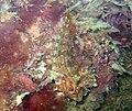 Tompot Blenny AHG1.jpg