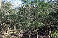 Torreya nucifera 5.JPG