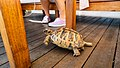 Tortoise in Mersin.jpg