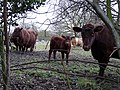 Traditional Suffolk cows, Red Polls - geograph.org.uk - 1166029.jpg
