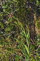 Tragopogon porrifolius australis, Sète 03.jpg