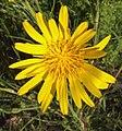 Tragopogon pratensis, oosterse morgenster bloem.jpg