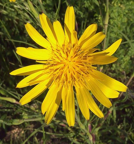 Tragopogon pratensis, oosterse morgenster bloem