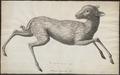 Tragulus pygmaeus - 1700-1880 - Print - Iconographia Zoologica - Special Collections University of Amsterdam - UBA01 IZ21500166.tif
