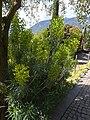 Trauttmansdorff gardens - Euphorbia characias 02.jpg