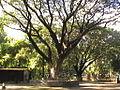 Tree 1 (place- Rajsahi Zoo).JPG