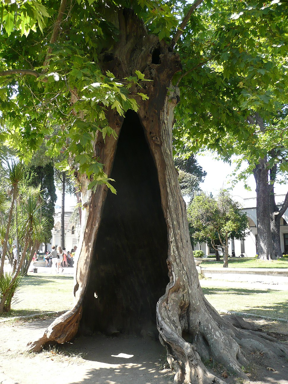 Tree Topkapi 01