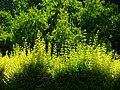 Trees in iran-qom city -پوشش گیاهی و درختان استان قم 11.jpg