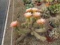 Trichocereus (Echinopsis) (4680028633).jpg