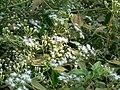 Triffid Weed (348698463).jpg
