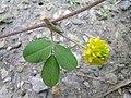 Trifolium campestre leaf1 (10621015145).jpg