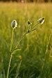 Trifolium montanum - mägiristik.jpg
