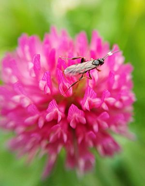 Trifolium pratense - With insect