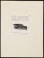 Trigonocephalus rhodostoma - - Print - Iconographia Zoologica - Special Collections University of Amsterdam - UBA01 IZ11700053.tif