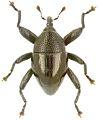 Trigonopterus ragaorum holotype - ZooKeys-280-001-g068.jpg