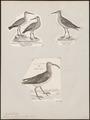 Tringa subarquata - 1700-1880 - Print - Iconographia Zoologica - Special Collections University of Amsterdam - UBA01 IZ17400271.tif