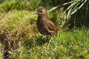 Tristan thrush - On Nightingale Island